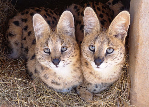 Cheetah Experience Serval friends