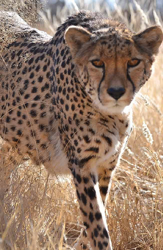 Cheetah Experience South Africa Visit Volunteer l Holidays