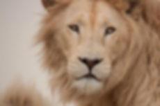 Male white lion