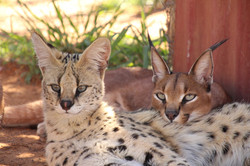 Caracal and Serval friends