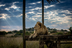 Cheetah Experience Morning Lion