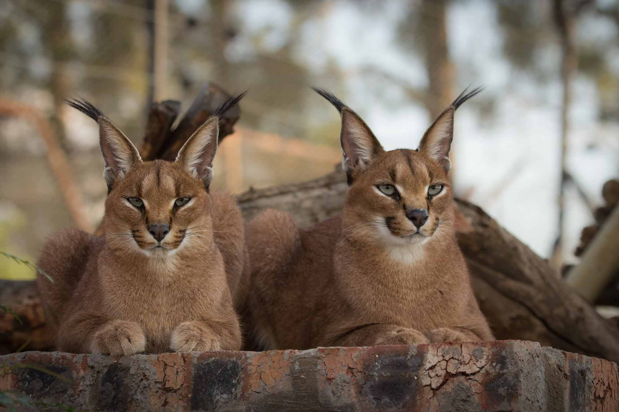 Cheetah Experience Caracal friends