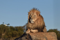 Cheetah Experience male lion