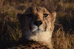 Cheetah Experience Legacy Cheetah