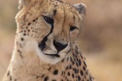 Cheetah Experience Faith Cheetah