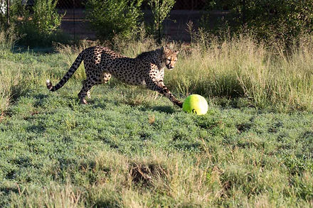 One of our cheetahs playing with a ball as part of object enrichment