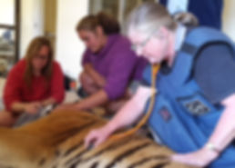 Our on-site vet monitoring one of our animals in the Cheetah Experience Vet Clinic