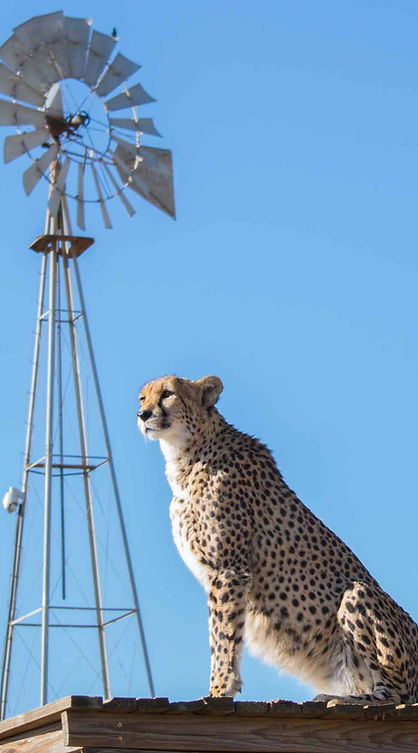 One of our cheetahs relaxing in the sun