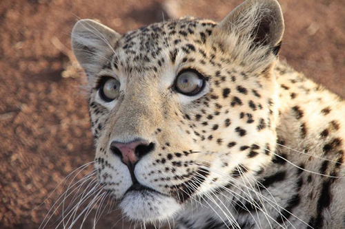 Cheetah Experience Leopard Fiona
