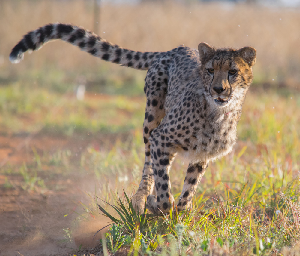 Cheetah Experience Enrichment