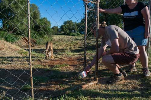 Cheetah Experience Volunteer