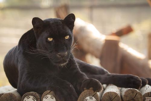 Cheetah Experience Black Leopard