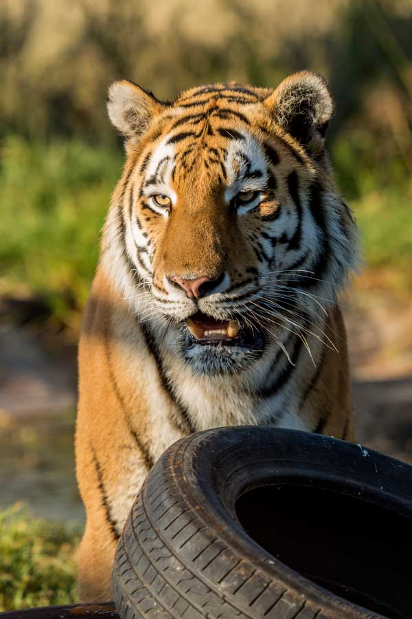 Cheetah Experience Siberian Tiger
