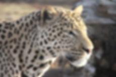 Shrek spotted leopard