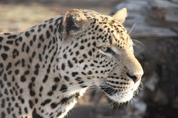 Cheetah Experience Shrek Leopard