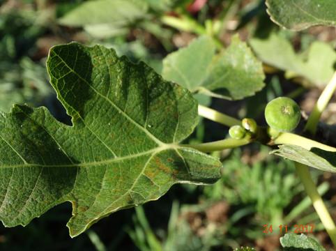 Tiny Figs