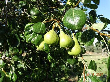 Maturing Pears