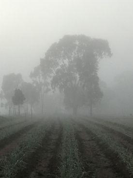 Garlic bed fog August 2020.jpg