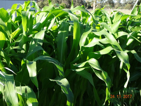 Corn growing beautifully