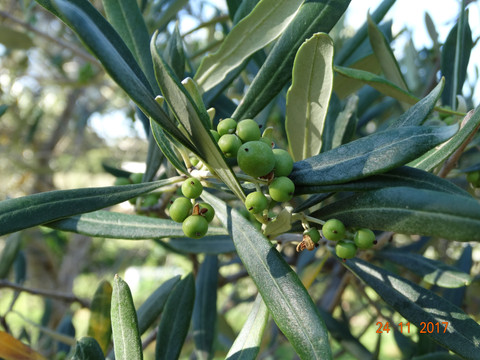 Some of our Olives