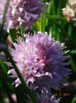 Elephant Garlic Flower