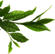 330-3307066_tea-leaves-png-download-gree
