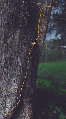 Andrea Marín Técnica: Serie, Fotografía digital C-Print Registro de Intervención en árboles del campus de la Universidad Nacional Hilos bordean la cerca de alambre incrustada en las cortezas de árbol por crecimiento natural de su tronco. Dimensiones: 50x36 Año: 2018