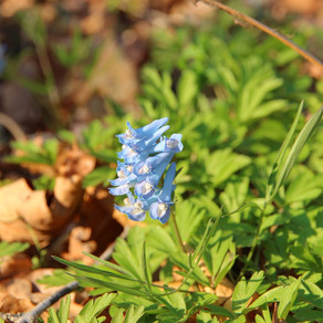 Herb of the month - Corydalis