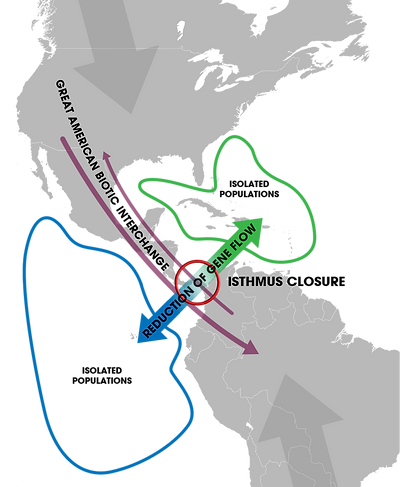 Isthmus_of_Panama_(closure)_-_Speciation