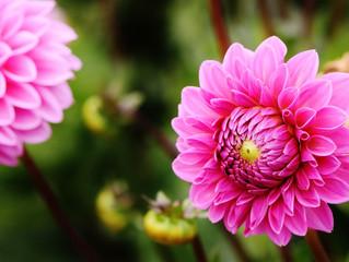 Ayın Bitkisi: Dahlia sp. /  Yıldız Çiçeği