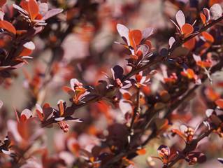 Ayın Bitkisi: Berberis thungbergii 'Atropurpurea' / Kırmızı Yapraklı Kadın Tuzluğu