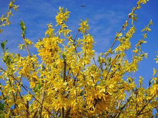 Ayın Bitkisi: Forsythia x intermedia / Altın Çanak