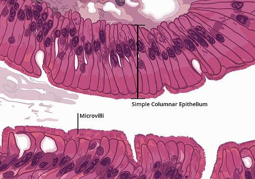 epithelium4.jpg