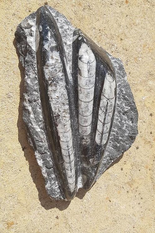 Octhoceras Plate