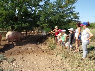 Remplissage des bailles d'eau des cochons et petite douche pour les rafraîchir