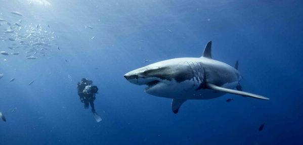 buceo con el gran tiburón blanco Isla de guadalupe viajes a la isla de guadalupe como llegar a la isla de guadalupe