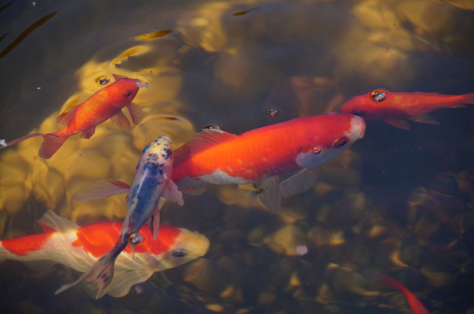Goldfische im teich elegant goldfisch tierlexikon fr for Goldfische gartenteich winter