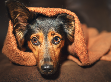 Protecting Pets From Ashfall