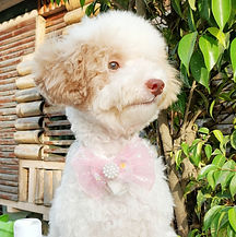 Chachi The Poodle.jpg