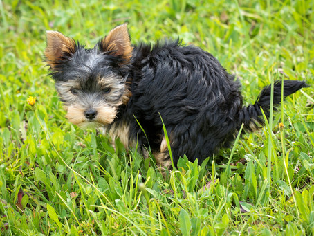Tips on Housebreaking Your New Puppy