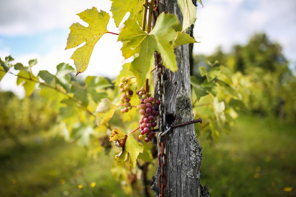 Le vignoble à la véraison