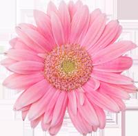 Margarita rosada 2