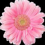 ピンクのデイジー2