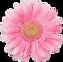 Rosa Daisy 2