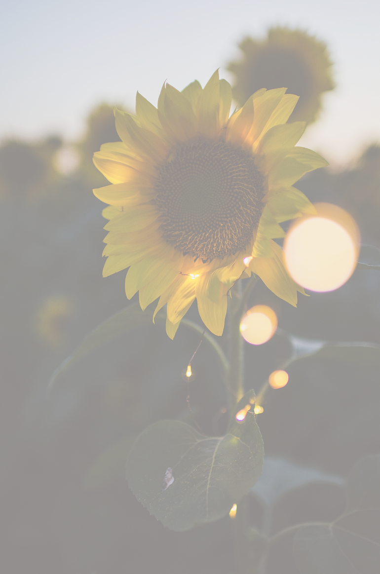 sunflower%20_edited.png