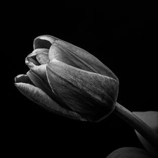 Monotone Tulip