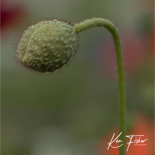Poppy ready to burst into life