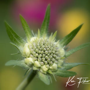 Scabious Waiting to Flower