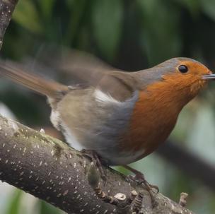 Robin Setting Off