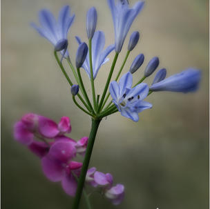 Agapanthus and Sweet Pea